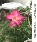 Small photo of The colorful adenium flower