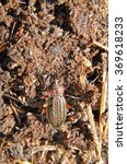 Small photo of Ground beetles are a large family of beetles, Carabidae. Russia. Leningrad region
