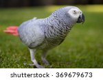 Small photo of African Grey (Gray) Parrot walking around on grass