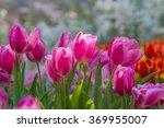 Fresh Tulips In Warm Sun Light