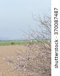 Small photo of Flowering almond tree with almonds