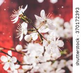 Blossom Branch Of Cherry Tree...