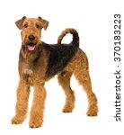 Small photo of Cute Airedale Terrier isolated on white