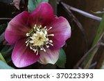 hellebore   Shutterstock . vector #370223393