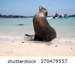 Male Sea Lion On The Beach Wit...