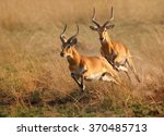 Two Reddish Brown Antelope...