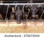 aberdeen angus beef cattle on a ... | Shutterstock . vector #370672043