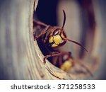 Portrait of a big wasp   a...