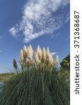Pampas Grass Against The Blue...