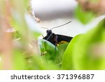 Birdwing Butterfly Hold On Leaf.