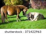 English Mastiff And Mini Horse