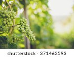 grapes in vine | Shutterstock . vector #371462593