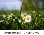 Daisy Hidden In The Grass On A...