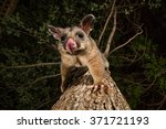 Brush Tail Possum In Australia...