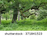 Ancient Forest Of Sababurg In...