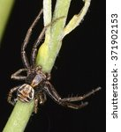 Small photo of Thomisidae, a family of spiders (crab spider)