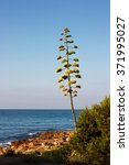 Small photo of Flowers of the american Agave plant on blue sky. Century plant, Maguey, or American aloe (Agave americana)
