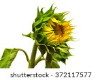 Closed Sunflower Isolated On...