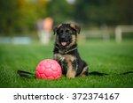 Cute German Shepherd Puppy...