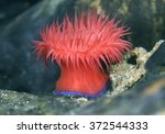 beadlet anemone   actinia... | Shutterstock . vector #372544333