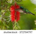Small photo of Green Violet-Ear, Colibri thalassinus, Hummingbird, feeding from red flower in natural habitat, San Gerardo de Dota, Costa Rica