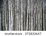 Black And White Aspen Forest I...