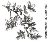 drawing of rose leaves  | Shutterstock . vector #372885703