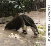 Giant Ant Eater Walking And...