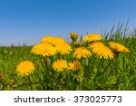 Closeup Spring Yellow Dandelion
