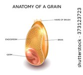 grain cross section anatomy.... | Shutterstock .eps vector #373123723