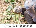 Giant Galapagos Turtle Eating...