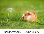 Guinea Pig And Dandelion With...