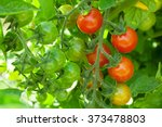 Homegrown Cherry Tomatoes In...