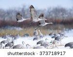 Sandhill Cranes Flying In Snow...