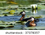 red necked grebe on water   Shutterstock . vector #37378357