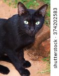 Small photo of Black domestic cat (Felis catus) staring at you. Ailurophobia - fear of cats.