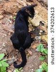 Black Domestic Cat  Felis Catu...