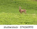 Roe Deer Buck Grazing In...