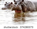 scary hippopotamus in the water ...   Shutterstock . vector #374280373