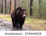 Big Male Of Brown Bear  Ursus...