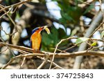 Small photo of Alcedo Vintsioides: A Madagascar King Fisher with its shrimp prey