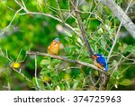 Small photo of Alcedo Vintsioides: A Madagascar Kingfisher during courtship mating season on a branch