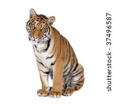 Portrait Of Bengal Tiger ...