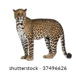 portrait of leopard  panthera... | Shutterstock . vector #37496626