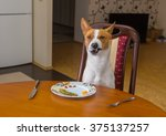 Small photo of Basenji shows grimace of dissatisfaction sitting at the dinner table and waiting for master-waiter would be more quicker in service