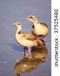Pair Of Egyptian Geese