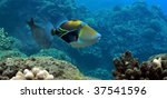 picasso triggerfish at black...   Shutterstock . vector #37541596