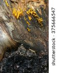 Small photo of Fuligo septica is a species of plasmodial slime mold