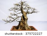 An Old Bonsai Tree In A Terra...