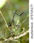 praying  mantis  mantodea  on... | Shutterstock . vector #375724177